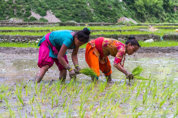 Photo of rice farmers in Nepal