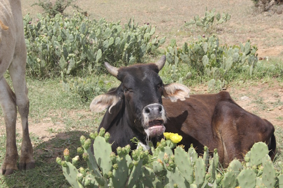 Cow after eating prickly pear cactus